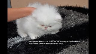 Persian and Exotic kittens for sale