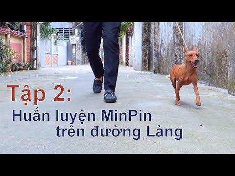 T2: Huấn Luyện chó Miniature Pinsher ngay trên đường Làng/Chó Minpin đẹp/NhamTuatTV-Dog in Vietnam