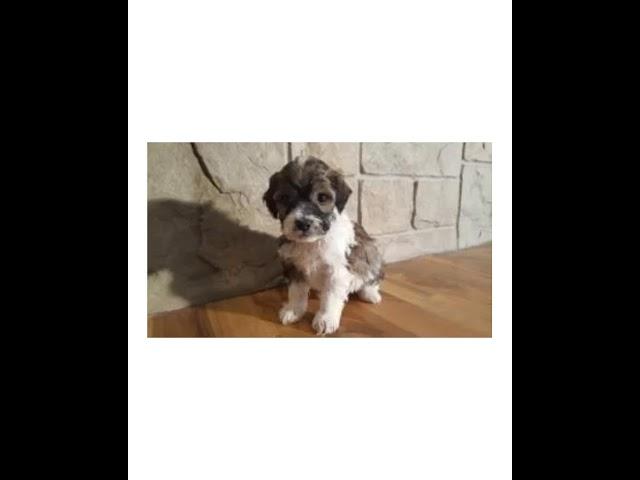Cockapoo Puppies For Sale/Adoption! We Raise Cockapoo Puppies! Weaver Family Farms