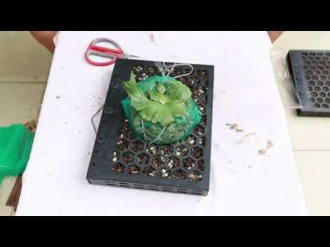 專利蜂格板 巨大鹿角蕨上板 - YouTube