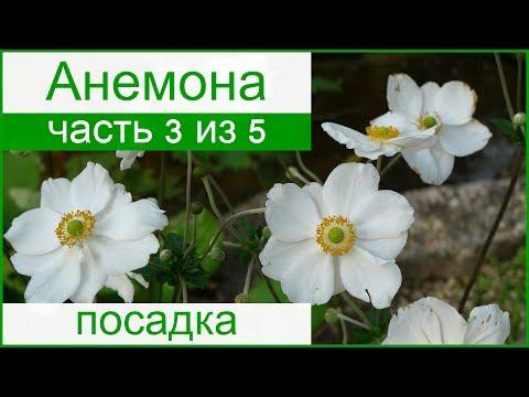 🌼 Посадка анемон в саду клубнями и семенами