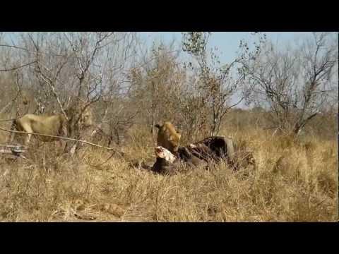 Krugerpark 2012: Twee leeuwen vechten op 5 meter van onze auto