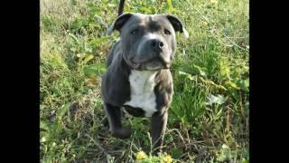 Histoire, Origines Et Standard Du Staffordshire Bull Terrier Et American Staff