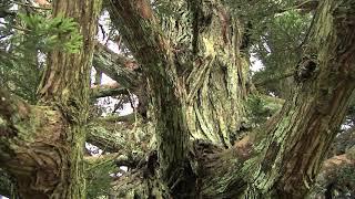 小杉の大杉