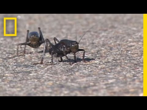 Giant Swarm of Mormon Crickets   National Geographic