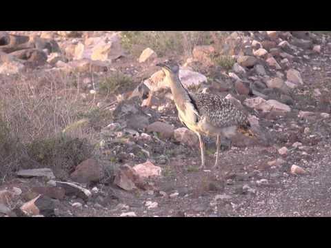 Kragentrappen  auf Fuerteventura -Kurzversion-  Outarde Houbara Bustards