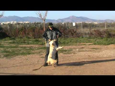 Εκπαιδευση σκυλων - Ερμης,Golden Retriever - k9training.gr