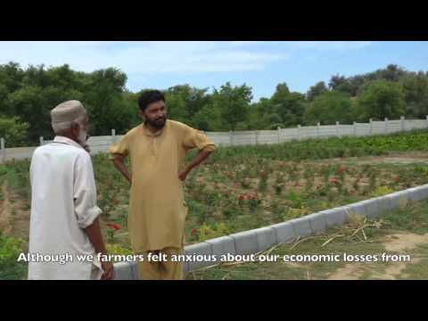 Pakistani farmers confounded by erratic weather