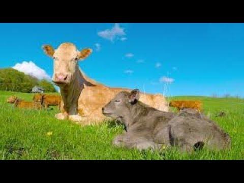Newborn calf struggles to stay awake in the sunshine