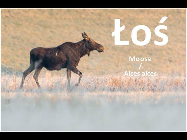 Nadwiślańskie łosie / Moose / Alces alces | fotografuj #zemną