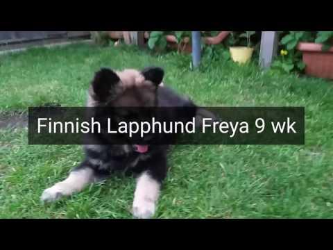 Finnish Lapphund Freya 9 weeks puppy Suomenlapinkoira
