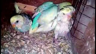 ARHAM BHATTI'S ALL BUDGIES SETUP FOR SALE IN LAHORE l URDU/HINDI