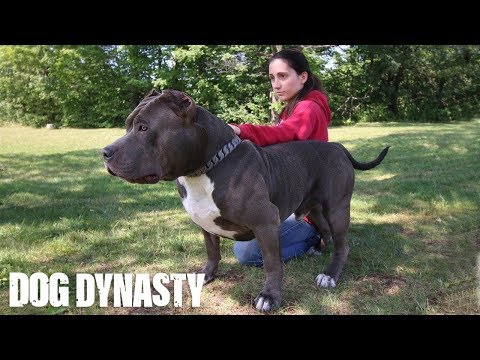Hulk's Son Kobe Is The Pit Bull Of The Future | DOG DYNASTY
