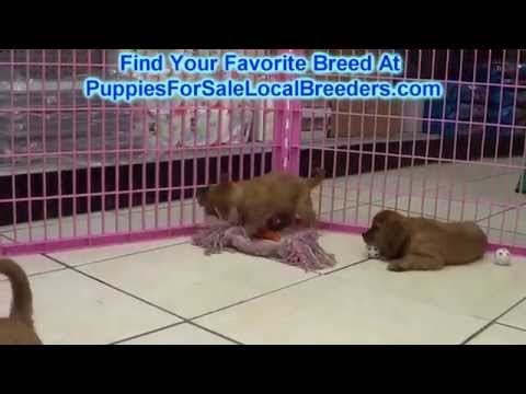 Cavalier King Charles Spaniel, Puppies For Sale, In St. Petersburg, County, Florida, FL, 19Breeders