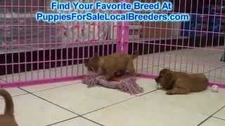 Cavalier King Charles Spaniel Puppies For Sale Local Breeders