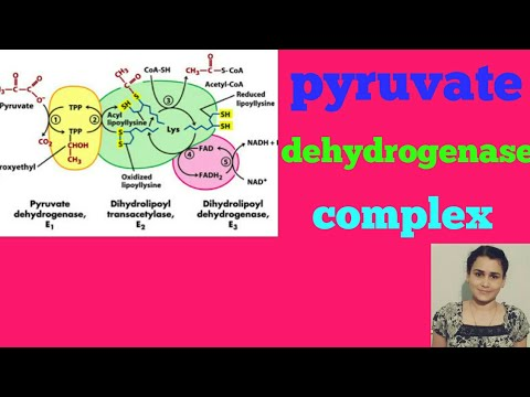 Pyruvate dehydrogenase complex (pyruvate oxidation) in hindi - YouTube