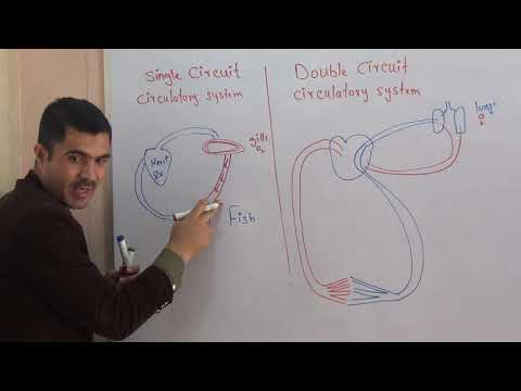 Single Circuit And Double Circuit Circulatory System Urdu Hindi By Dr Hadi