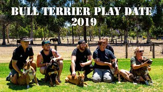 TRY NOT TO LAUGH! FUNNY Bull Terrier puppies playing,