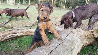 Teddy the Welsh Terrier Puppy - 3 Weeks Residential Dog Training