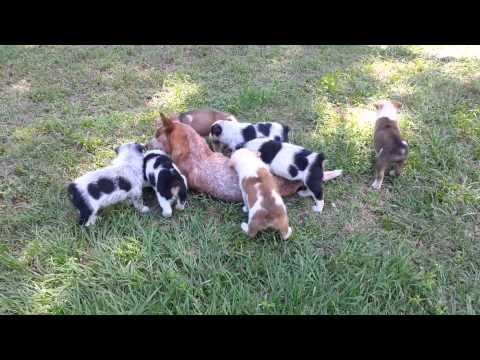 Texas Heeler pups for sale