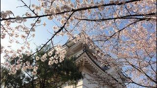 大多喜城の桜(千葉県夷隅郡大多喜町)2018年3月26日