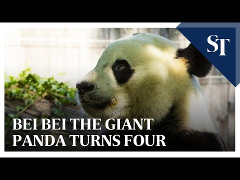 Bei Bei the giant panda turns four