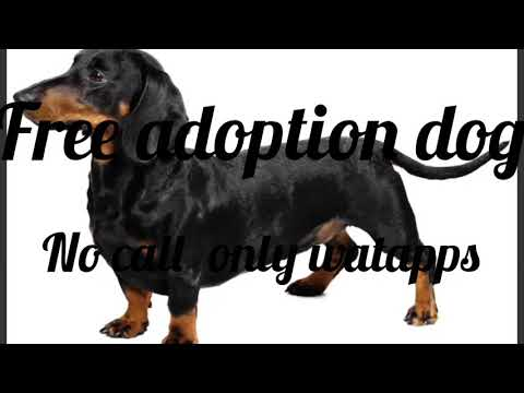 Daschund adults dog free adoption |adopted|Hyderabad|no call only watapps
