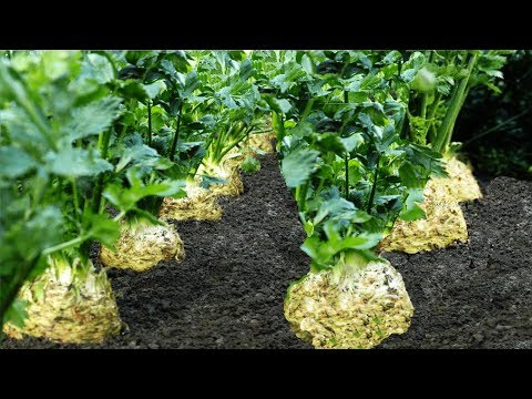 Celery Root Harvesting Machine - Celeriac Cultivation - Celery Root Farm And Harvest