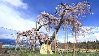 JG☆ 山梨 神田の大イトザクラ 樹齢400年の桜の古木(県天然記念物) Yamanashi,Sakura at Sinden thumbnail