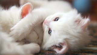 White kittens for sale hd