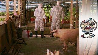 The Terrifying Spread Of The Nipah Virus (1999)