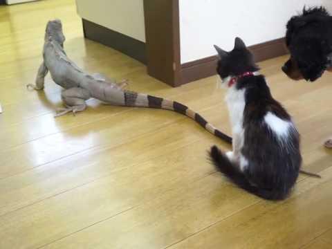 イグアナのシッポが気になる子猫。