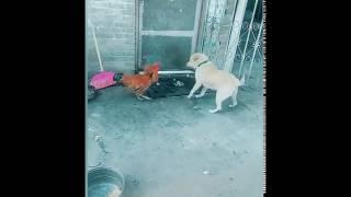 chicken vs dog fight funny videos