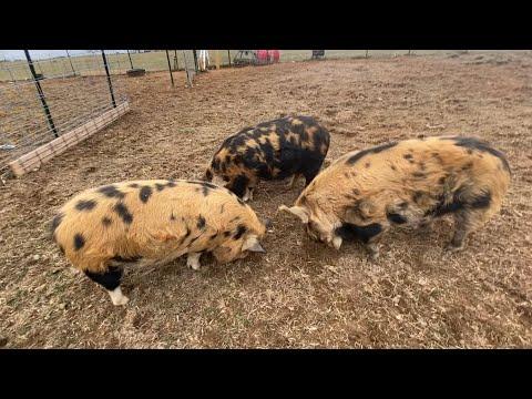 Update On Our Kunekune Pigs!!!