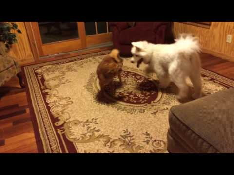Finnish Spitz vs Samoyed