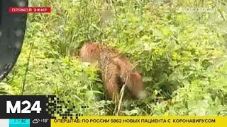 В московских парках заметили лис - Москва 24