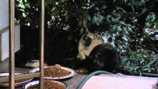 Hd Cute Black Calico Cat Eating Food California German Shepherd Barking 12 21 2012