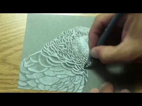 AFRICAN GREY PARROT DRAWING ~ PET BIRD PORTRAIT CONGO WILDLIFE ART