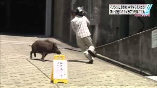 Un sanglier attaque des journalistes en pleine ville au Japon.