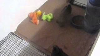 How we Potty Train our puppies at Shorkie World.com Home of the GREATEST SHORKIE PUPPIES