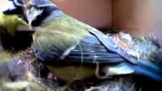 vogelhuisje met camera pimpelmeesjes.mp4