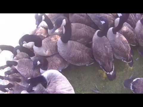 goose banding 4
