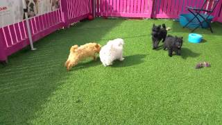 Pomeranian X Poodles & Pomeranian X Maltese.