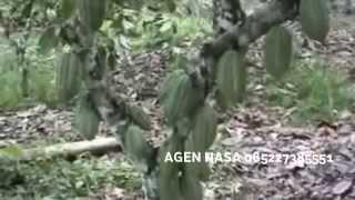 Budidaya Tanaman Kakao Buah Lebat Dengan Pupuk Nasa 085227385551 BB 29A17DB3