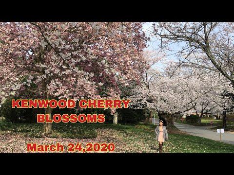 KENWOOD-MARYLAND CHERRY BLOSSOMS 2020