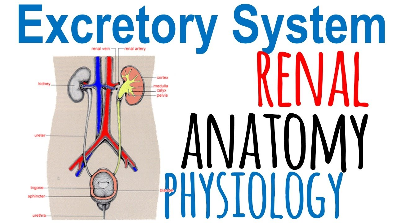 Renal anatomy and physiology - YouTube