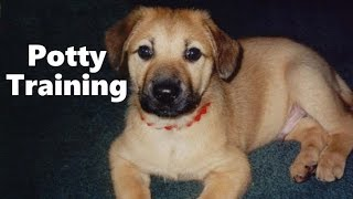 How To Potty Train A Chinook Puppy - Chinook House Training Tips - Housebreaking Chinook Puppies