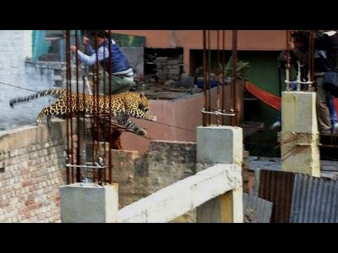 Leopard enters in Meerut, create panic among people : NewspointTV