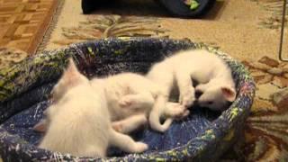 Turkish Angora kittens/Котята турецкой ангоры.avi