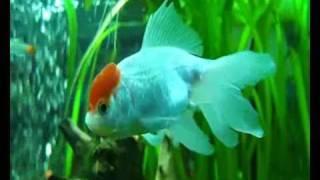Аквариум -  Золотая рыбка - Красная шапочка